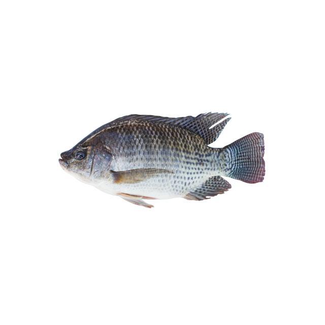 تیلاپیا