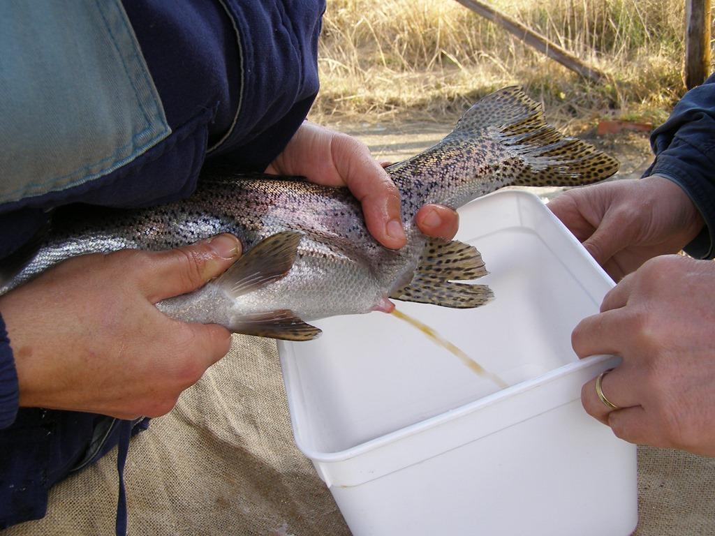 هورمون-تخم-کشی-ماهی