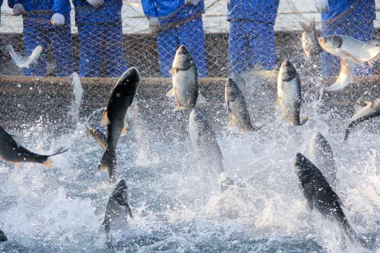 پرورش ماهی عربستان